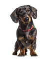 Dachshund wearing a collar, isolated on white - PhotoDune Item for Sale
