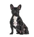 French bulldog black, sitting, isolated - PhotoDune Item for Sale