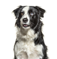 Headshot of a black and white Border Collie, isolated on white - PhotoDune Item for Sale