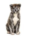 Sitting Akita inu dog, isolated on white - PhotoDune Item for Sale