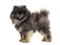 Side view of a Standing Pomeranian, isolated on white - PhotoDune Item for Sale
