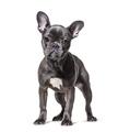 Frensh Bulldog, isolated on white - PhotoDune Item for Sale