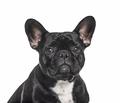 Headshot of a French bulldog black, isolated - PhotoDune Item for Sale