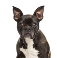 Portrait of a black and white French Bulldog, isolated on white - PhotoDune Item for Sale