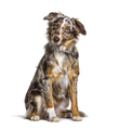 Puppy Miniatur americain shepherd red merle sitting, six months old, isolated - PhotoDune Item for Sale