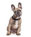 Sitting French bulldog with collar, isolated on white - PhotoDune Item for Sale