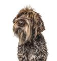 Head shot of a shaggy dog, Korthals Griffon, isolated on white - PhotoDune Item for Sale