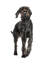 German Wirehaired Pointer,Korthals dog, isolated on white - PhotoDune Item for Sale
