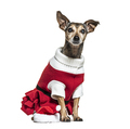 Miniature Pinscher dressed-up with a christmas clothes - PhotoDune Item for Sale
