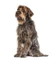 Sitting Expressive Korthals Griffon dog, isolated on white - PhotoDune Item for Sale