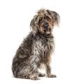 Sitting brown Shaggy Korthals Griffon dog, isolated on white - PhotoDune Item for Sale