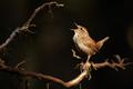 Eurasian wren singing on tree in spring night light - PhotoDune Item for Sale