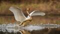 Mute swan landing on splashing water in spring nature - PhotoDune Item for Sale