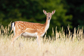 Fallow deer looking to the camera on meadow in summer - PhotoDune Item for Sale