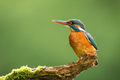 Common kingfisher looking on tree with space for text - PhotoDune Item for Sale