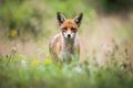 Red fox looking to the camera on blossoming meadow in summer - PhotoDune Item for Sale