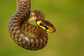 Aesculapian snake hanging in green summer environment - PhotoDune Item for Sale