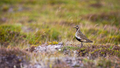 European golden plover looking on field with copy space - PhotoDune Item for Sale