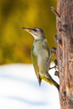 Adult grey-headed woodpecker perched on the tree in winter - PhotoDune Item for Sale