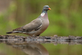 Adult common wood pigeon standing above the pond in summer - PhotoDune Item for Sale