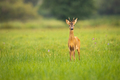 Young roe deer looking to the camera on meadow with copy space - PhotoDune Item for Sale