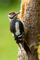Beautiful lesser spotted woodpecker climbing tree in summer - PhotoDune Item for Sale