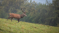 Red deer in movement on green meadow in autumn mist - PhotoDune Item for Sale