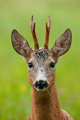 Adorable male of roe deer eating grass on green field in close-up - PhotoDune Item for Sale