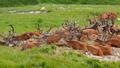 Group of red deer lying on alpine meadow in summer - PhotoDune Item for Sale