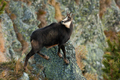Tatra chamois climbing rocks in mountains in autumn nature - PhotoDune Item for Sale