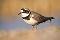 Little ringed plover standing near the riverbank in spring - PhotoDune Item for Sale