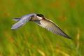 Common tern landing in wetland in sunny summer nature - PhotoDune Item for Sale