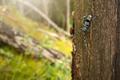 Alpine longhorn beetle climbing on tree in sunlight - PhotoDune Item for Sale