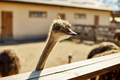 Big ostriches at farm field behind a wooden fence - PhotoDune Item for Sale