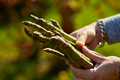 Man holding a bunch of green asparagus in his hands outdoor - PhotoDune Item for Sale