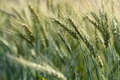 Close-up barley blur for the background. - PhotoDune Item for Sale
