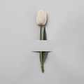 White tulip on a grey background - PhotoDune Item for Sale