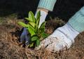 Gardener puts rhododendron bush in ground. - PhotoDune Item for Sale
