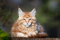 Red spotted Maine Coon kitten looking at camera. - PhotoDune Item for Sale