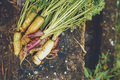Colorful group of carrots just harvested - PhotoDune Item for Sale