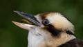 Laughing Kookaburra - PhotoDune Item for Sale