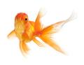 Goldfish - PhotoDune Item for Sale