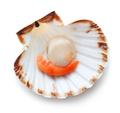 Fresh scallop - PhotoDune Item for Sale