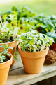 Fragrant basil grown in a clay pot on the balcony - PhotoDune Item for Sale