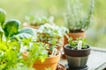 Growing edible greens and aromatic herbs on a balcony. Mint, basil and rosemary - PhotoDune Item for Sale