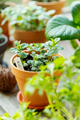 Closeup of potted green mint - PhotoDune Item for Sale