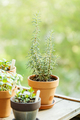 Fragrant rosemary grown in a clay pot on the balcony - PhotoDune Item for Sale