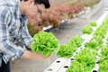 Gardener are collecting organic vegetables. - PhotoDune Item for Sale