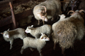 Icelandic sheep are used for meat, milk and also for wool production, in a ranch in Iceland - PhotoDune Item for Sale