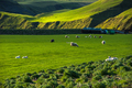 Icelandic landscape, green hills and countryside grazing sheep, in the highlands, Iceland - PhotoDune Item for Sale